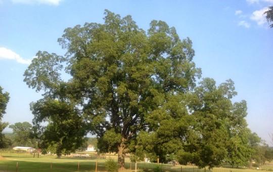 Blessings Farm Pecan Tree