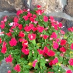 Pot-of-Impatiens